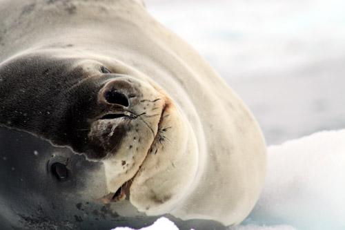 南極半島 ダンゴ島 南極アサラシ